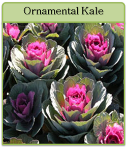 Ornamental Kale Cut Flower Seeds
