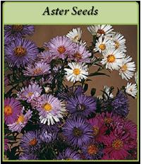 p-aster-seeds-logo.png