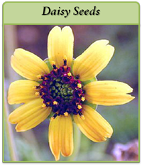 p-daisy-seeds-logo.png