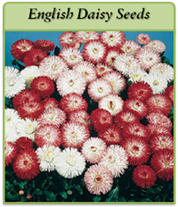 p-english-daisy-seeds-logo.png