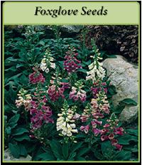 p-foxglove-seeds-logo.png