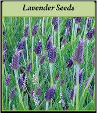 p-lavender-seeds-logo.png