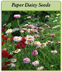 p-paper-daisy-seeds-logo.png