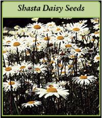p-shasta-daisy-seeds-logo.png