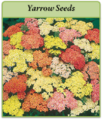 p-yarrow-seeds-logo.png