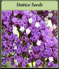 statice-seeds-logo.png