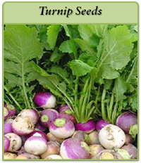 turnip-seeds-logo.png