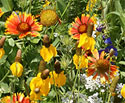Colorado Wildflower Seeds