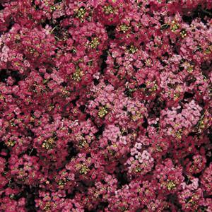 Wonderland Deep Rose Alyssum Seeds
