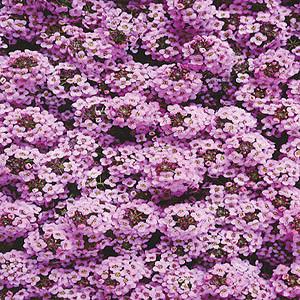 Wonderland Lilac Alyssum Seeds