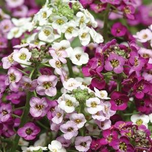 Clear Crystal Mix Alyssum Seeds