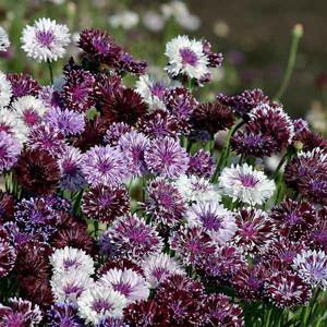 Classic Magic Bachelor's Button Seeds-Cornflower