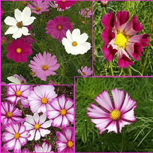Everywhere Cosmos Wildflower