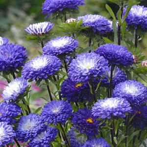 Matsumoto Blue Tipped White Aster Seeds