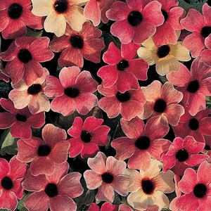 Blushing Susie Black Eyed Susan Seeds