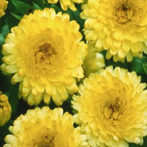 Bon bon light yellow calendula seeds 2bseeds bon bon light yellow calendula seeds mightylinksfo