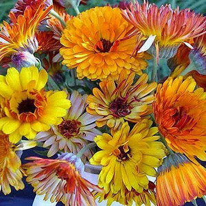 Flashback Mix Calendula Seeds
