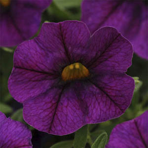 Calibrachoa-Kabloom Deep Blue Seeds