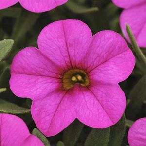 Calibrachoa-Kabloom Deep Pink Seeds