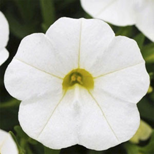 Calibrachoa-Kabloom White Seeds