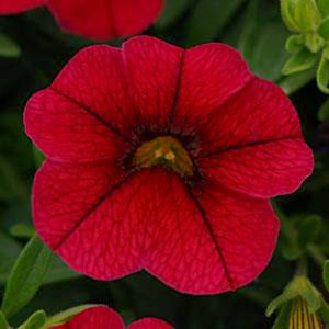 Calibrachoa-Kabloom Red Seeds