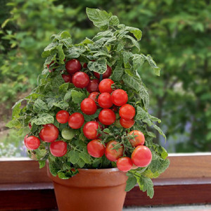 Container Patio Sweet N Neat Red Cherry Tomato