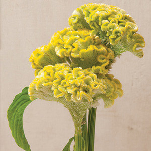 Bombay Yellow Gold Celosia