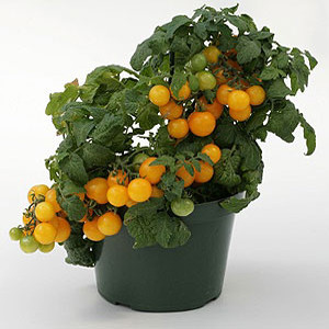 Container Patio Sweet N Neat Yellow Cherry Tomato