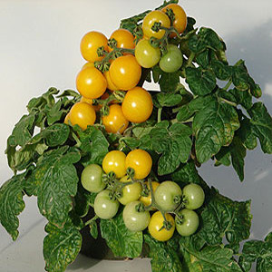 Container Patio Little Sun Yellow Cherry Tomato