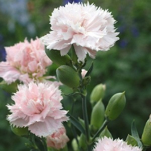 Chabaud Giant La France Carnation