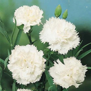 Grenadin Snow White Carnation