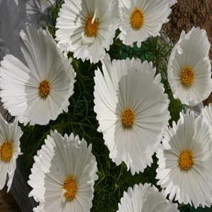 Cosmos Cupcakes White