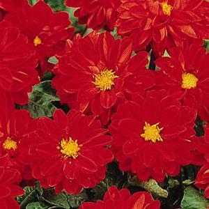 Dahlia Figaro Red Shades