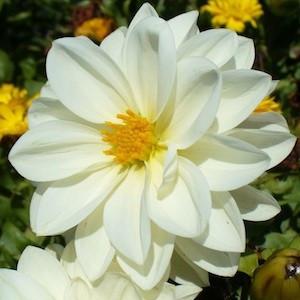 Dahlia Figaro White