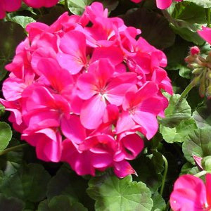 Pinto Premium Violet Geranium