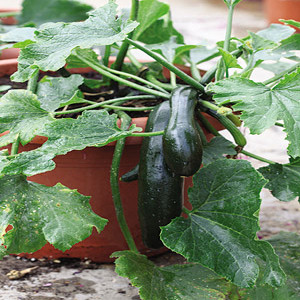 Container Patio Green Bush Zucchini