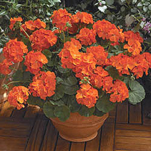 Maverick Orange Geranium