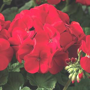 Maverick Scarlet Geranium