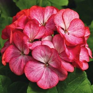 Maverick Scarlet Picotee Geranium