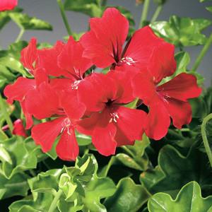 Tornado Red Ivy Geranium