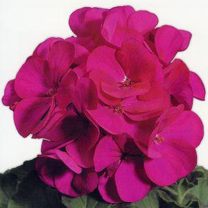 Ringo 2000 Violet Geranium