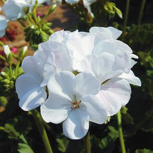 Ringo 2000 White Geranium