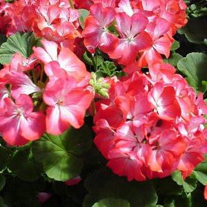 Ringo 2000 Scarlet Star Geranium