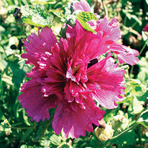 Queeny Purple Dwarf Hollyhock