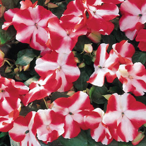 Accent Red Star Impatiens