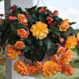 Illumination® Golden Picotee Tuberous Begonia Seeds