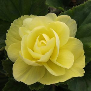 Illumination® Peaches n Cream Tuberous Begonia Seeds