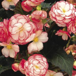 Non-Stop® Rose Petticoat Tuberous Begonia Seeds
