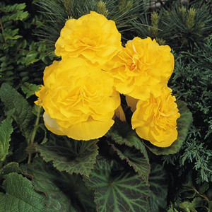 Non-Stop® Yellow Tuberous Begonia Seeds