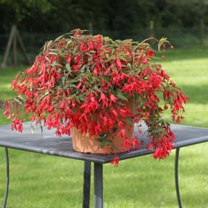 Bossa Nova® Red Tuberous Begonia Seeds